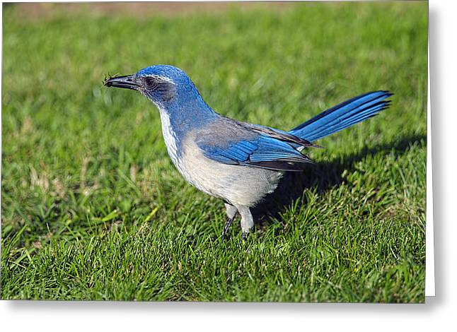 Western Scrub Jay With Beetle Greeting Card by Sharon Talson