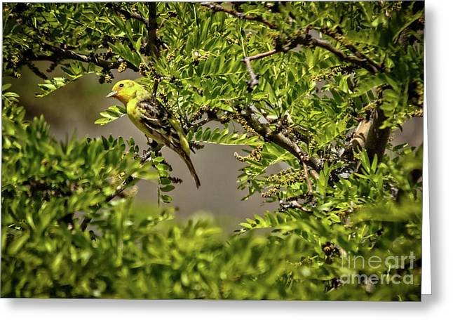 Western Tanager Greeting Card by Robert Bales