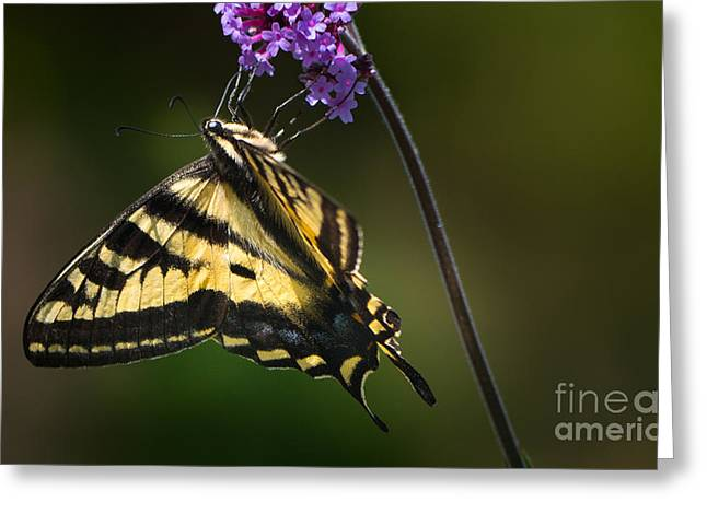Western Tiger Swallowtail Butterfly On Purble Verbena Greeting Card