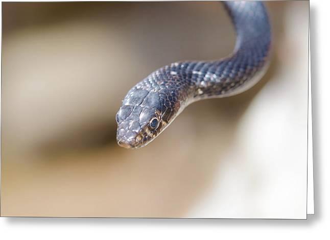 Western Whip Snake Greeting Card