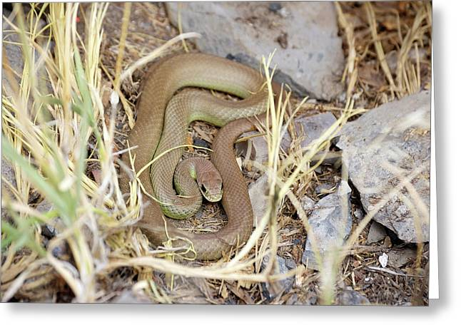 Western Yellow-bellied Racer, Coluber Constrictor Greeting Card