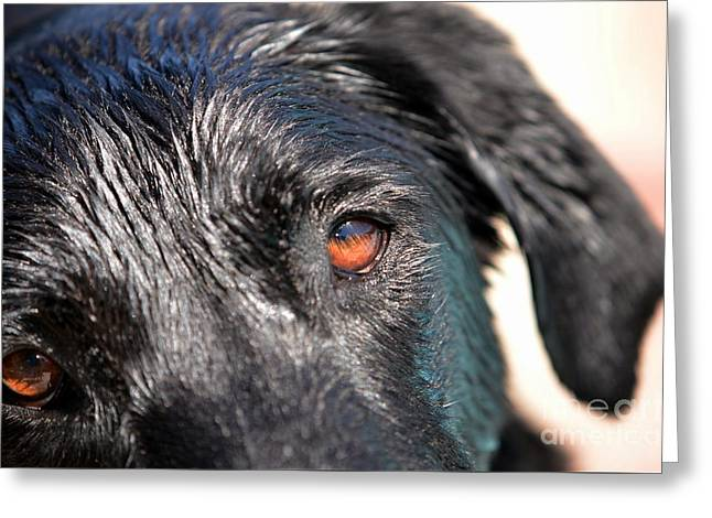 Wet Black Lab Greeting Card