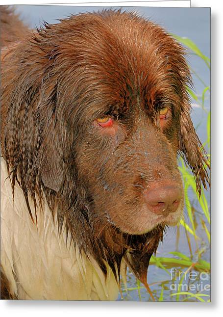 Greeting Card featuring the photograph Wet Newfie by Debbie Stahre