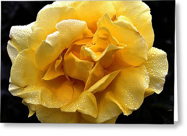 Wet Yellow Rose II Greeting Card by Clayton Bruster