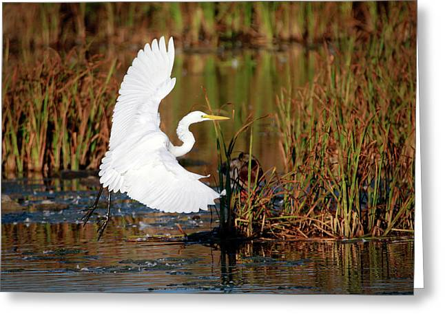 Wetland Landing Greeting Card by Ray Congrove