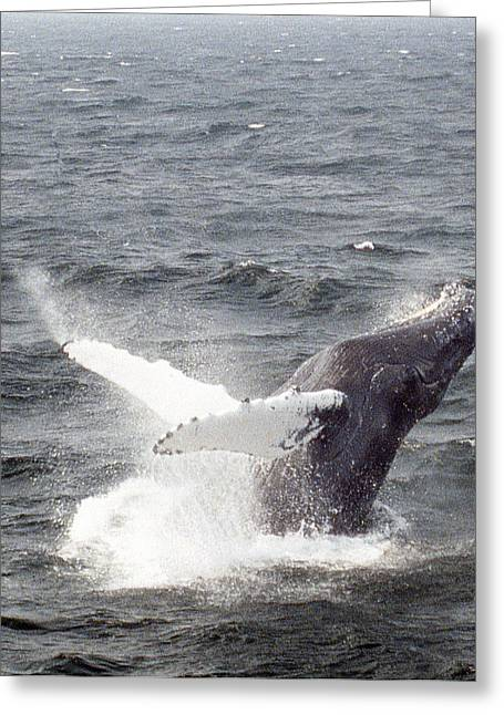 Whale Breaching Greeting Card by Richard Singleton