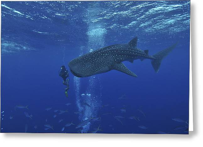 Scuba Diving Greeting Cards - Whale Shark And Diver, Maldives Greeting Card by Mathieu Meur