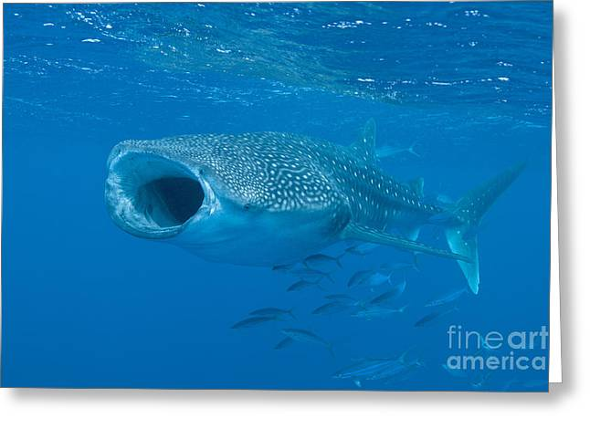 Whale Shark, Ari And Male Atoll Greeting Card