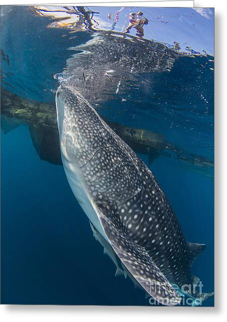 Whale Shark Swimming Under Bagan Greeting Card