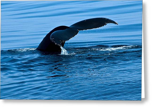 Whale Tail Greeting Card by Brian Green