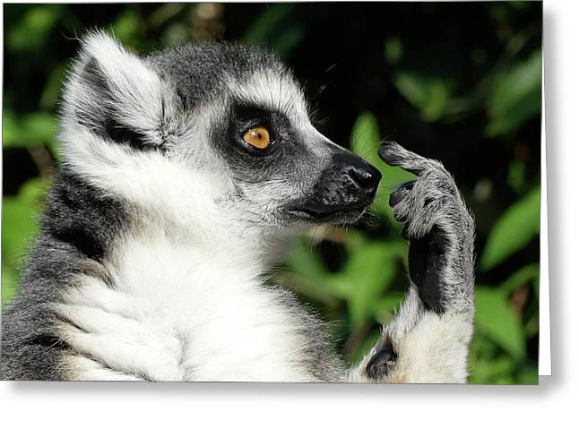 What Should I Do - Ring-tailed Lemur Greeting Card