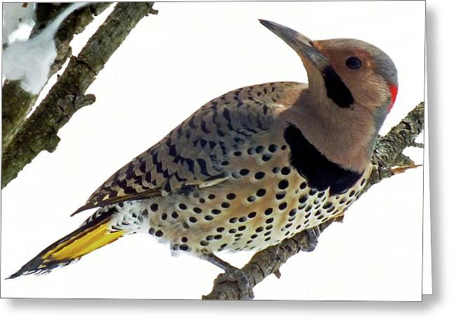 What Was That - Northern Flicker Greeting Card