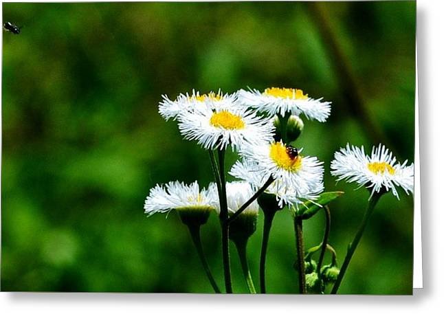 Bellis Daisy Greeting Card
