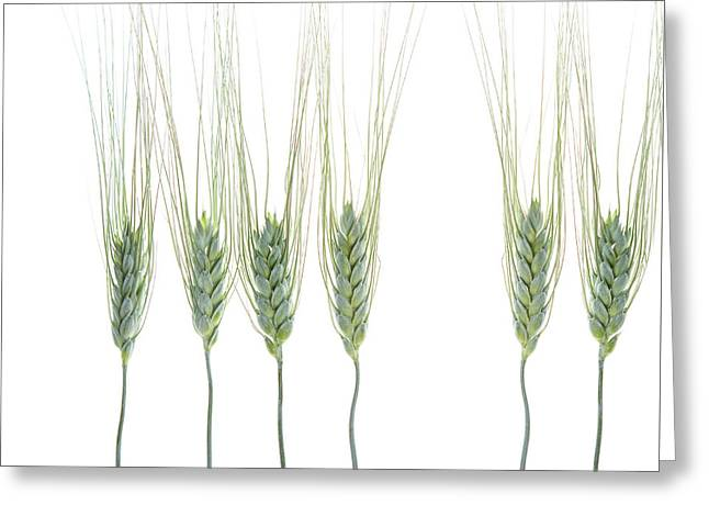 Greeting Card featuring the photograph Wheat 1 by Rebecca Cozart