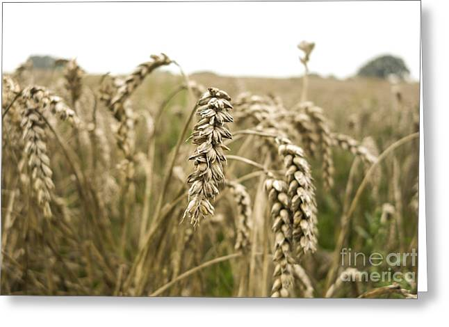 Wheat At End Of Summer Greeting Card