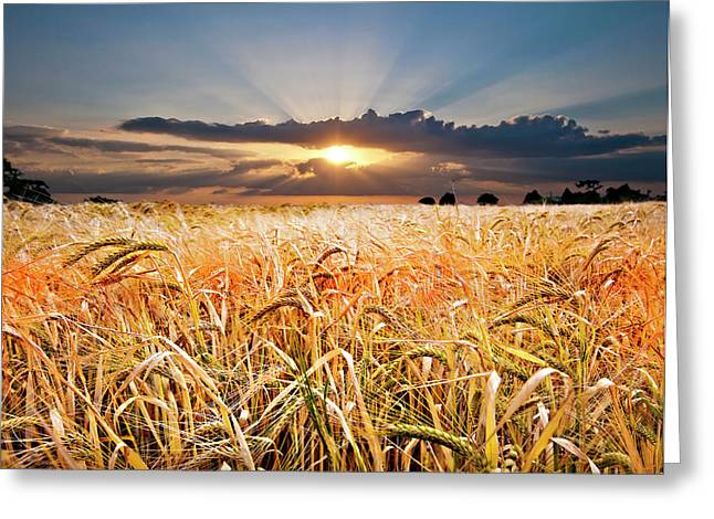 Sun Ray Greeting Cards - Wheat At Sunset Greeting Card by Meirion Matthias