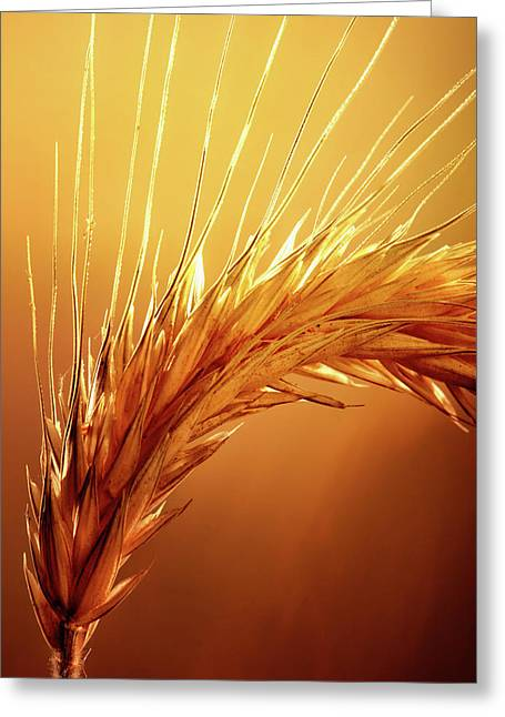 Wheat Close-up Greeting Card