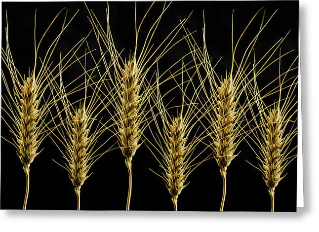 Wheat In A Row Greeting Card