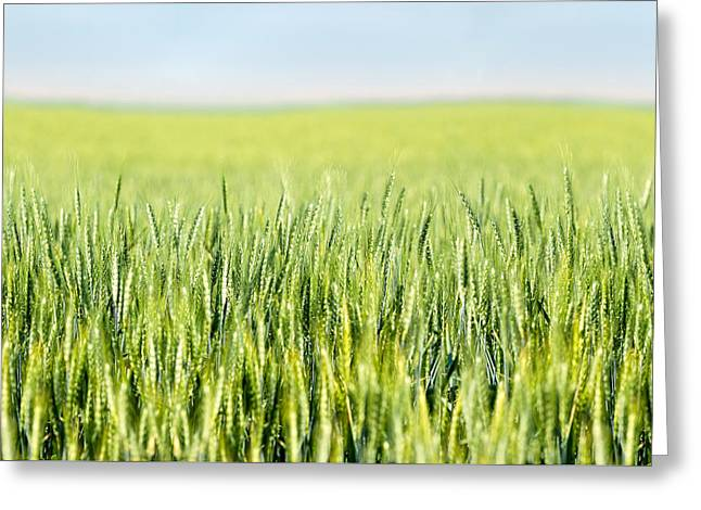 Wheat Ripening Greeting Card