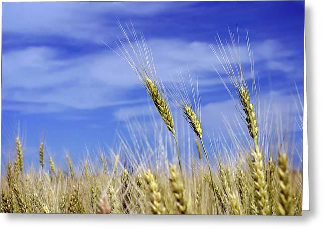 Wheat Trio Greeting Card