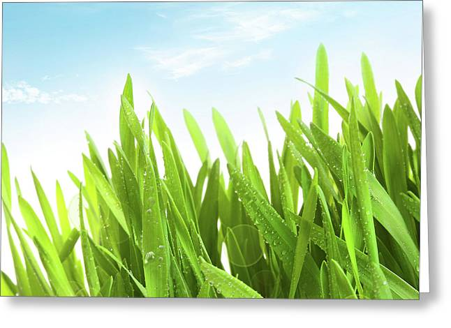 Dew Drop Greeting Cards - Wheatgrass against a white Greeting Card by Sandra Cunningham