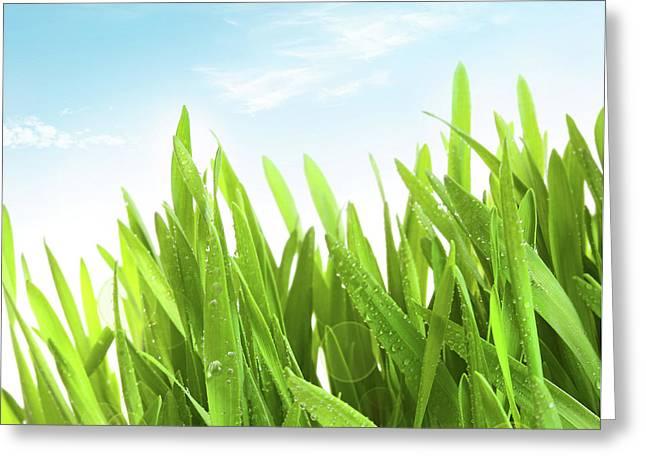 Wheatgrass Against A White Greeting Card
