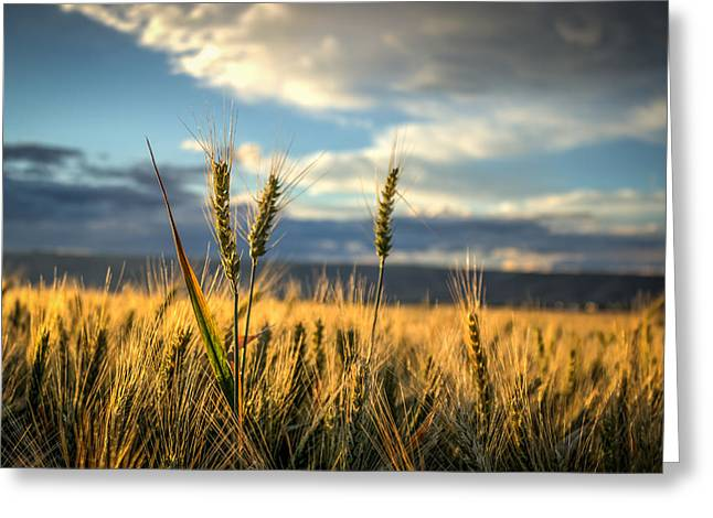 Wheat's Up Greeting Card by Brad Stinson