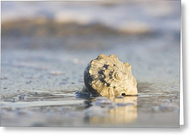 Whelk Shell In Surf Greeting Card by Bob Decker