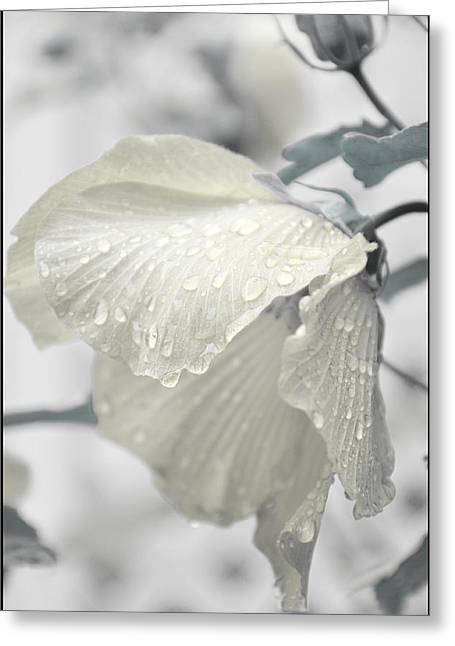 Whisper In Pearlwhite Greeting Card by Rose  Hill