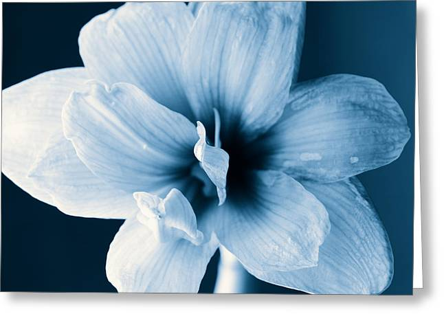 White Amaryllis Flower In Black And White In Blue Tones Greeting Card