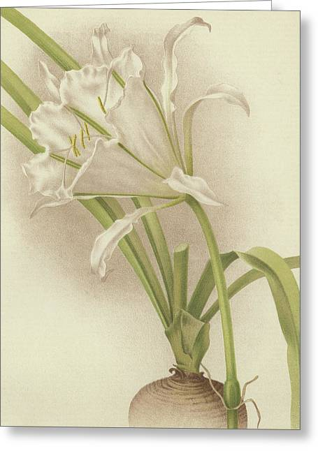 White Amaryllis   Ismene Andreana Greeting Card