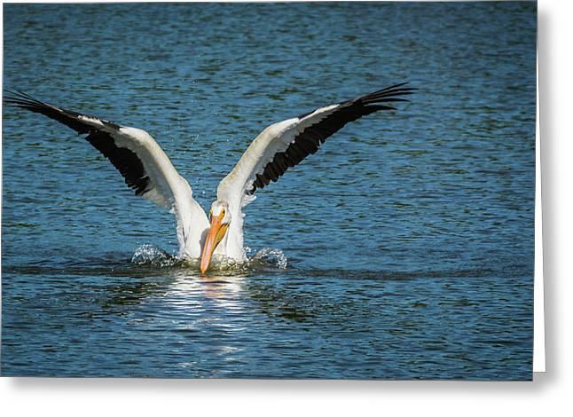 White American Pelican Greeting Card