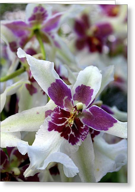 Greeting Card featuring the photograph Purple And White Orchid by Melinda Blackman