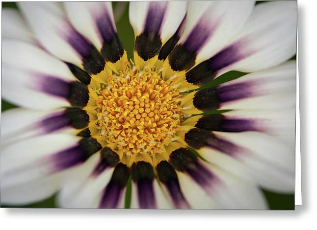 White And Purple Zinnia With Yellow Greeting Card