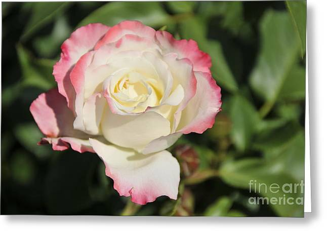 White And Red Rose 3 Greeting Card by Rudolf Strutz