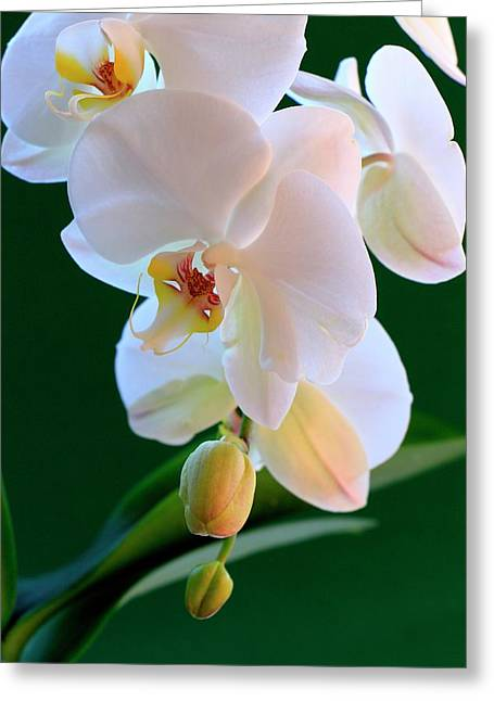 White And Tender Orchid Greeting Card