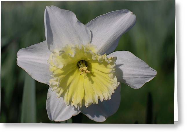 White And Yellow Daffodil Greeting Card