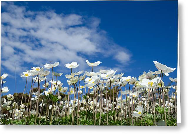 White Anemones At Blue Sky Greeting Card
