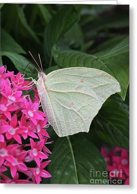 White Angled Sulphur #3 Greeting Card