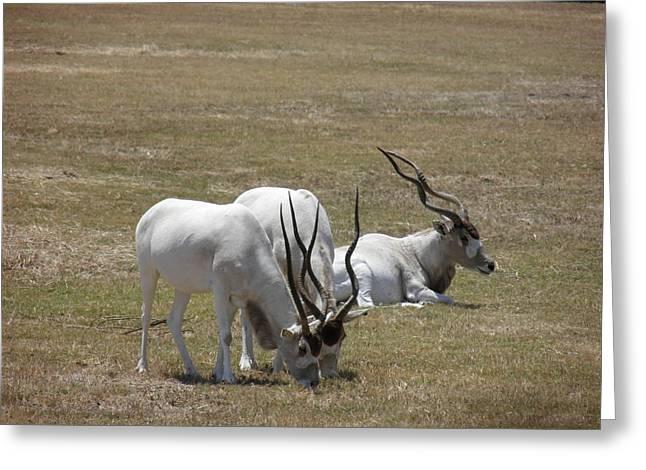 White Antelopes - Addax Greeting Card by Viktor Milenkov