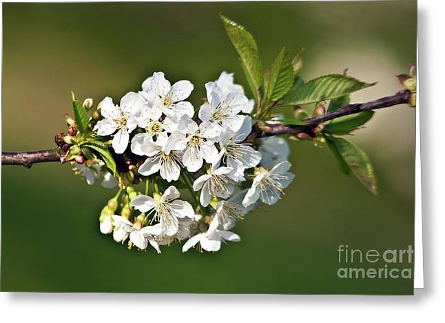 Greeting Card featuring the photograph White Apple Blossoms by Silva Wischeropp