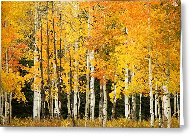 Ron Woods Greeting Cards - White Aspen Trunks Greeting Card by Ron Dahlquist - Printscapes