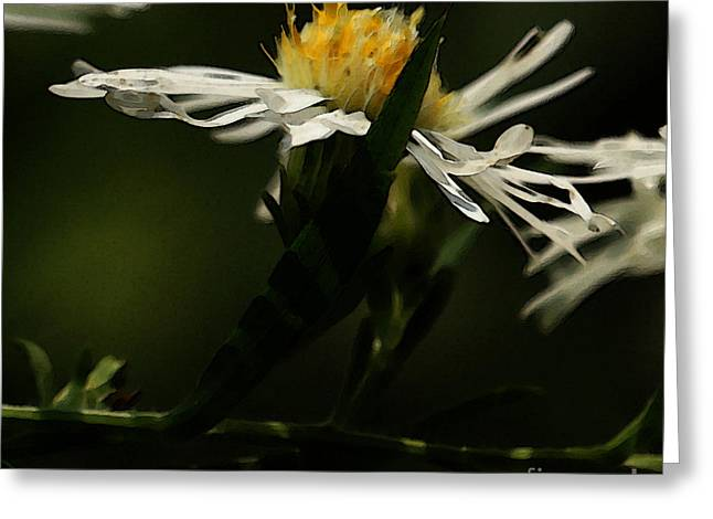 White Aster Greeting Card by Linda Shafer