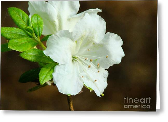Greeting Card featuring the photograph White Azalea  by Rand Herron