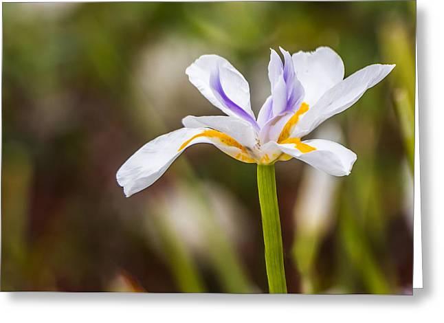 White Beardless Iris Greeting Card