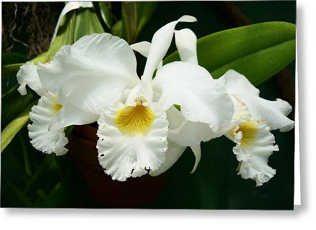 White Beauty Orchid Greeting Card by Patricia R Moore