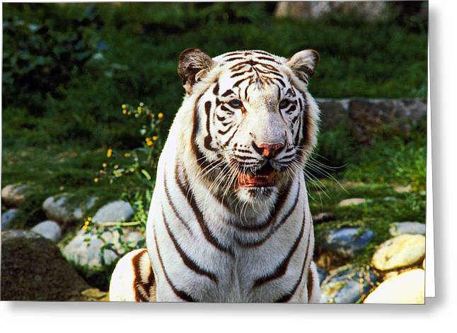White Fur Greeting Cards - White Bengal tiger  Greeting Card by Garry Gay