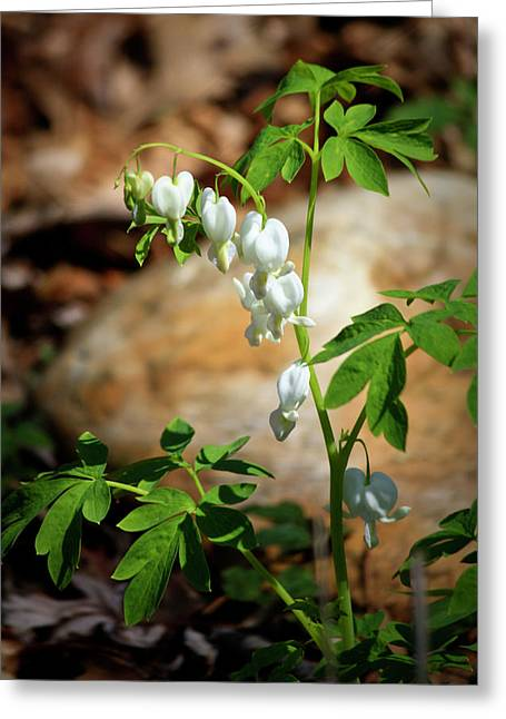 Lady In Green Greeting Cards - White Bleeding Hearts Greeting Card by Teresa Mucha