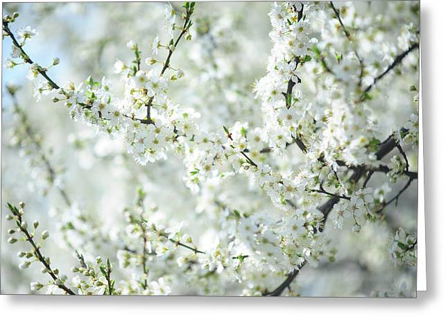 White Bloom Of  Cherry Plum Tree  Greeting Card by Jenny Rainbow