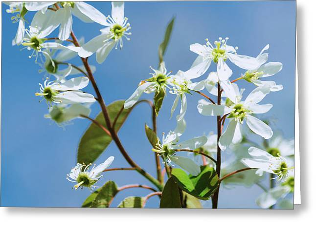 Greeting Card featuring the photograph White Blossom by Cristina Stefan